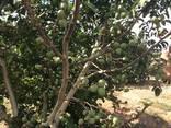 Chandler - Fernor Walnut Saplings (Tree) - фото 5