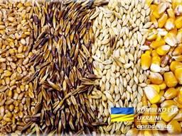 Feed Barley \ Ячмень Фуражный