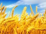 Пшеница, 2-й, 3-й класс, FOB Бердянск. - фото 1