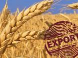Пшеница мягкая, пшеница твердая - фото 1